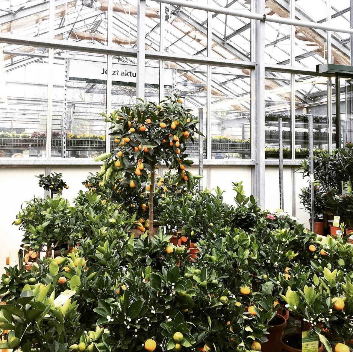 🍊 #plants #orange #urbanjungle #greenery #orangetree #plantsmakepeoplehappy #plantlover #greenhouse