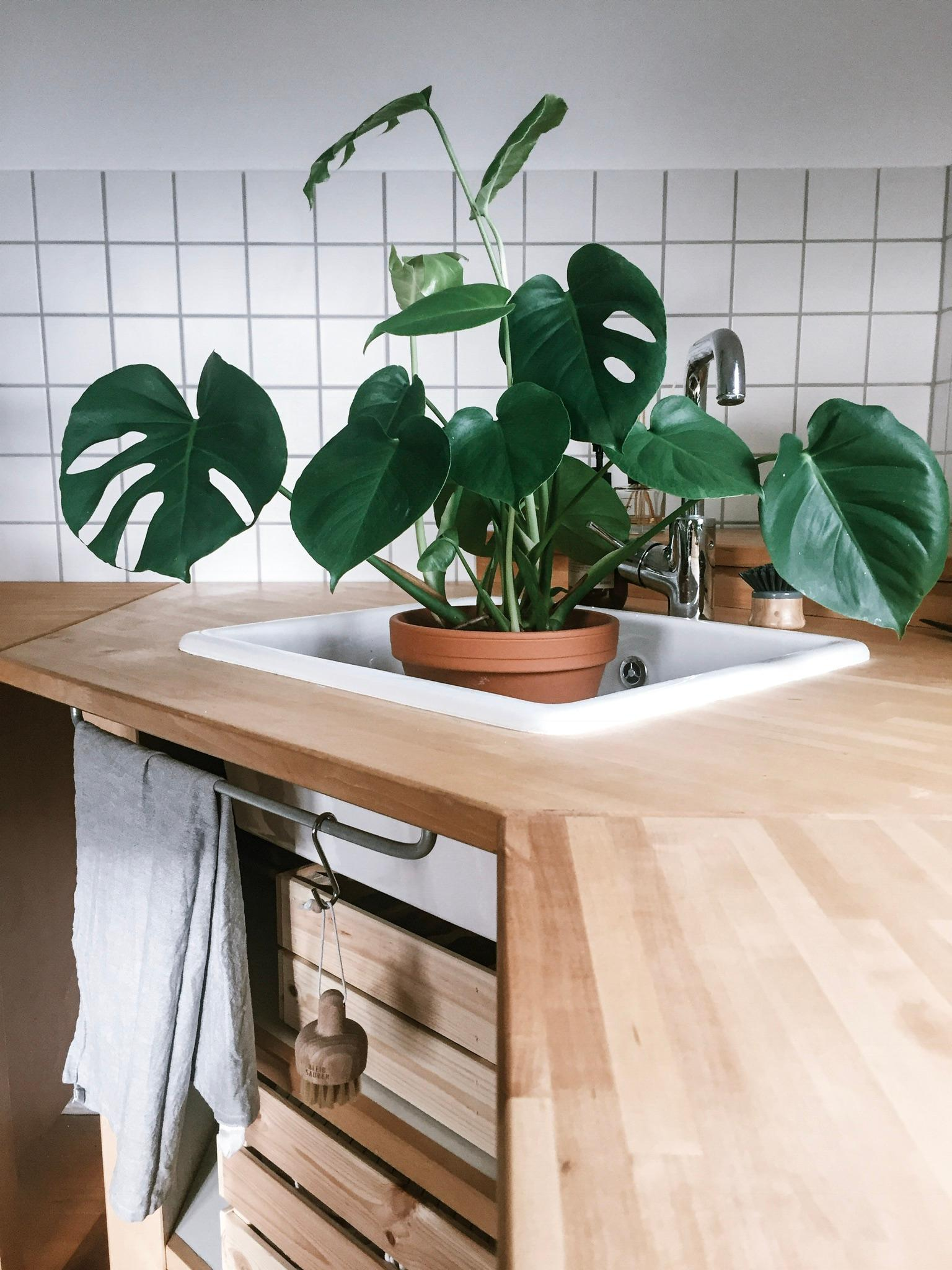 Badetag. #monstera #plants #Ikea #Küche #kitchen #home #urban #green