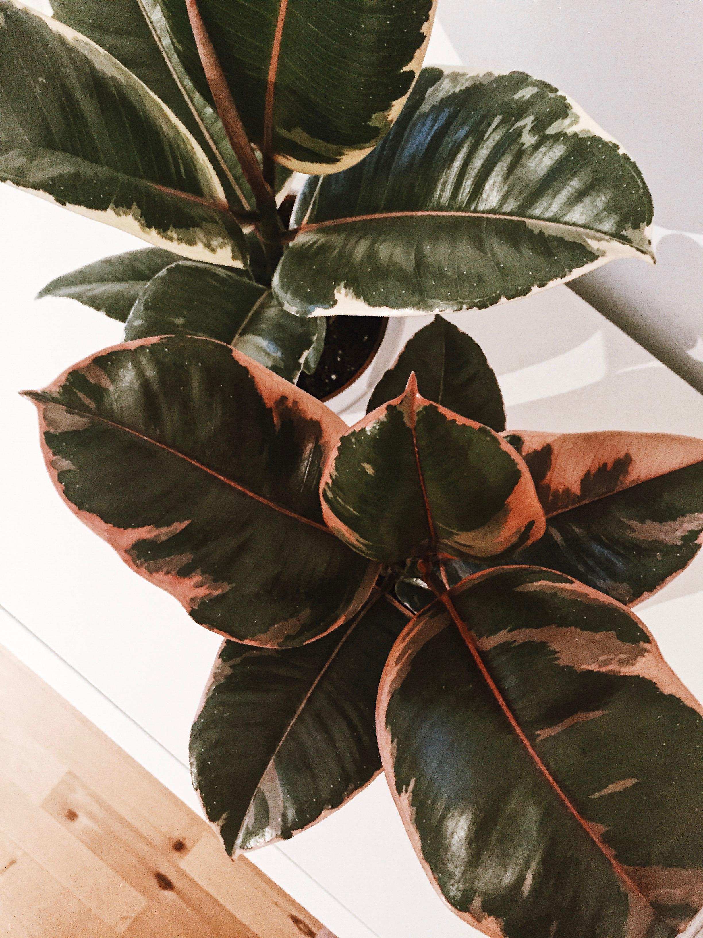 Ficus elastica Duo. #ficus #plants #ficuselastica #urbanjunge #bedroom #colors #colourcombo