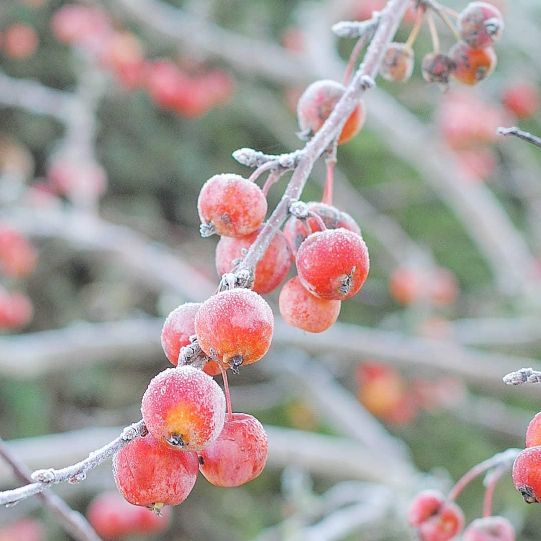 Frost ❄❄❄ #frozen #apfel #winter #natur
