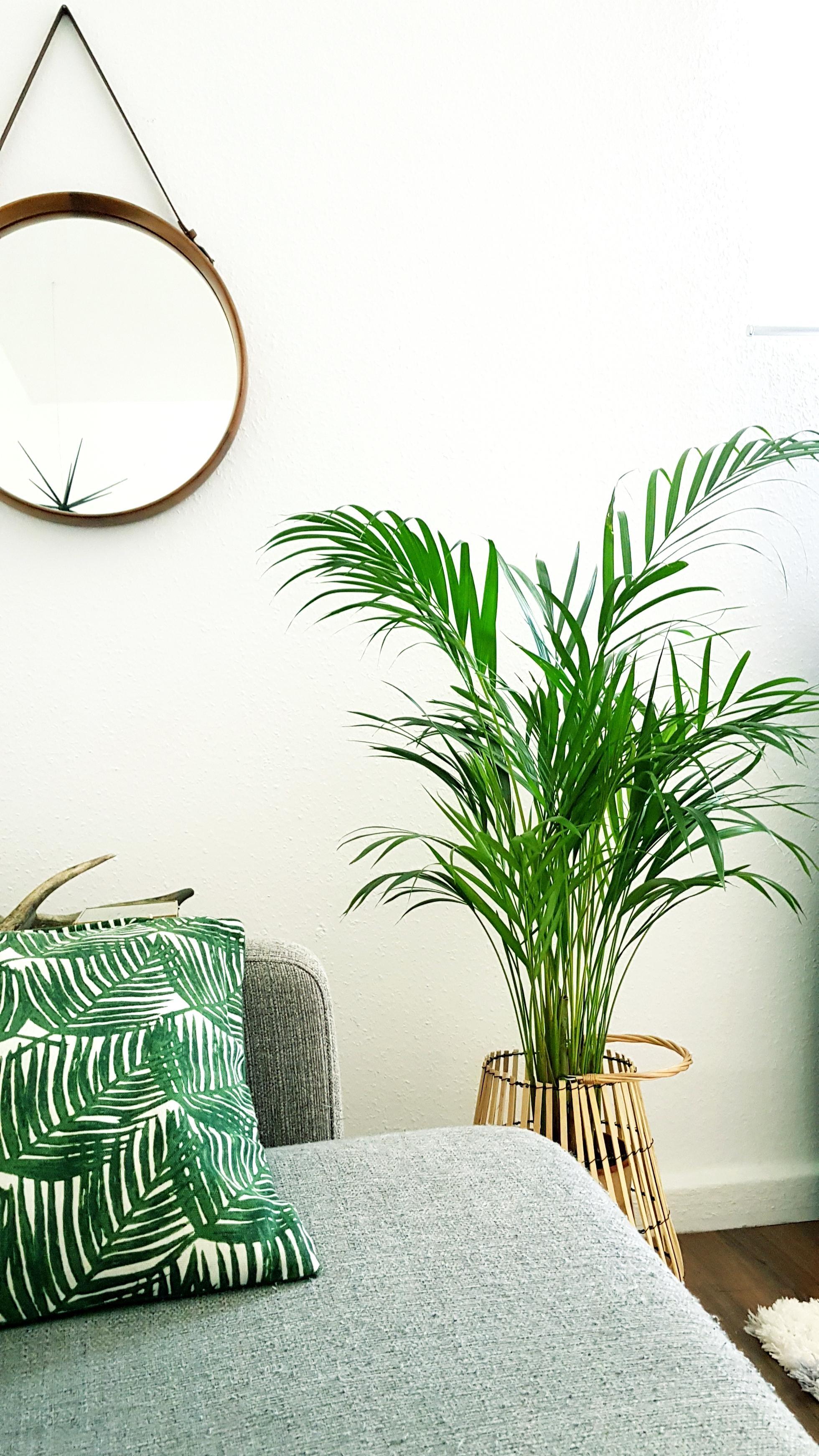 Leere Ecke ausgefüllt #pflanzen#palme#wohnzimmer • C