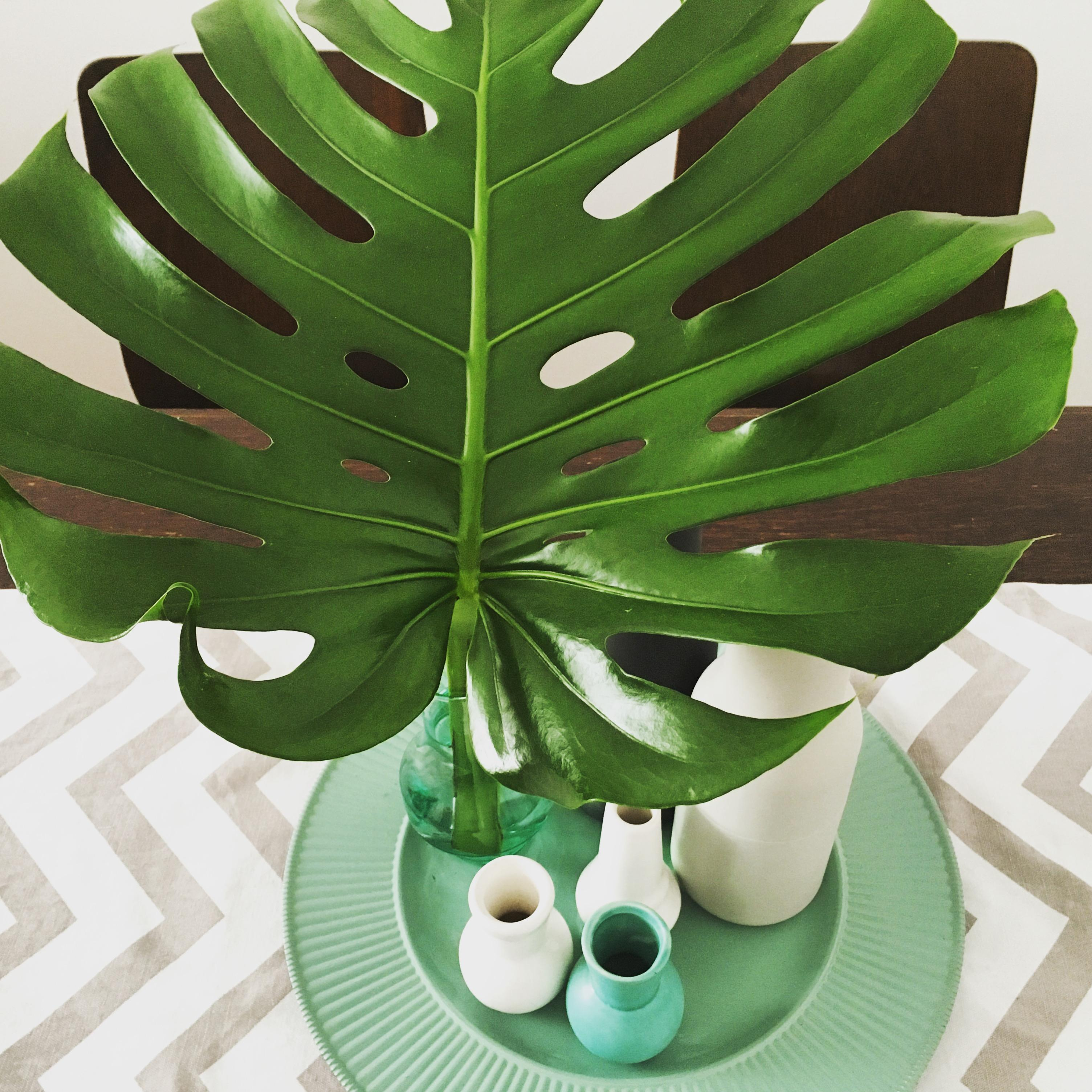 Mein riesen Monsterablatt #monstera #neuhier #jungle #urbanjungle #botanical #esstisch