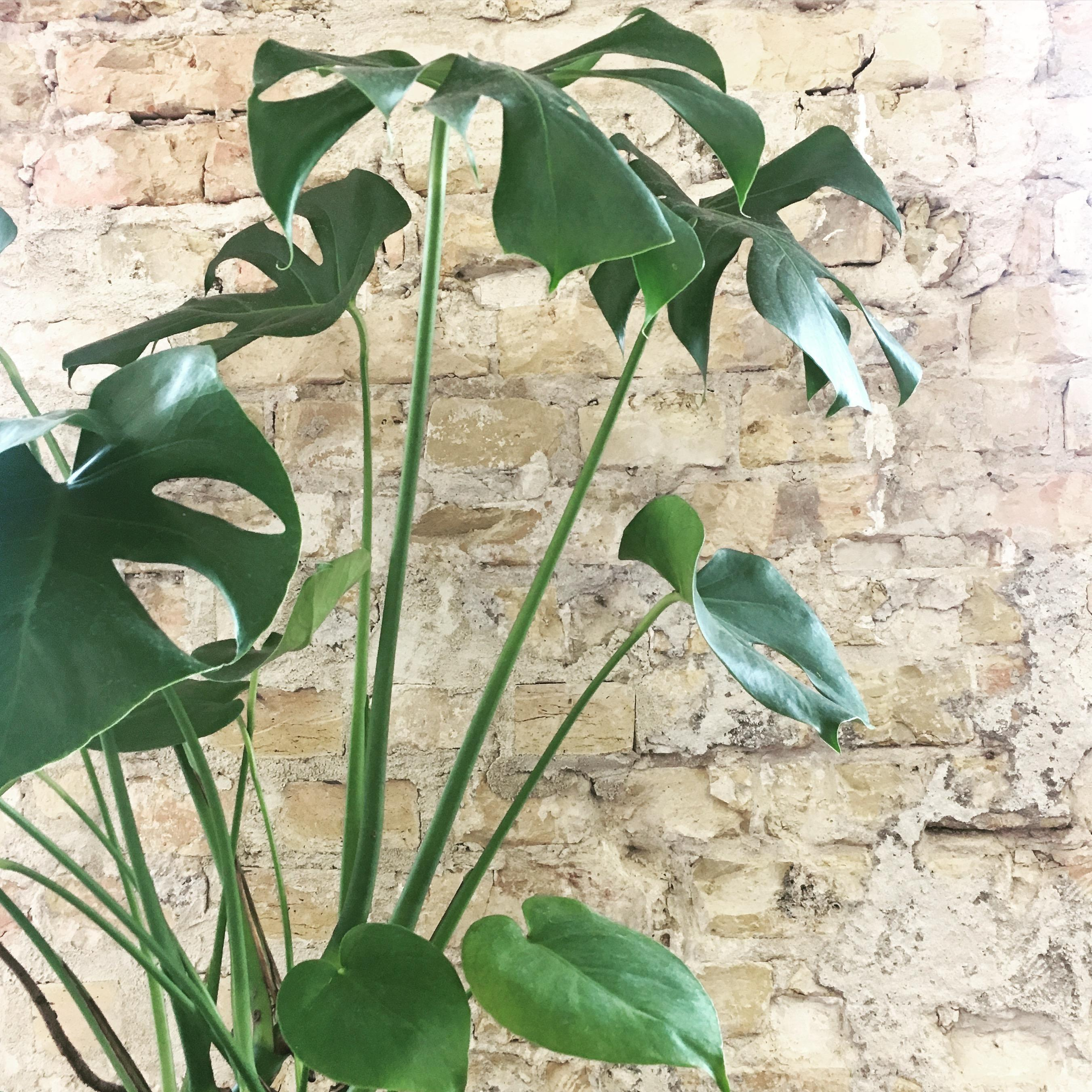 Monstera 💚 #plants #home