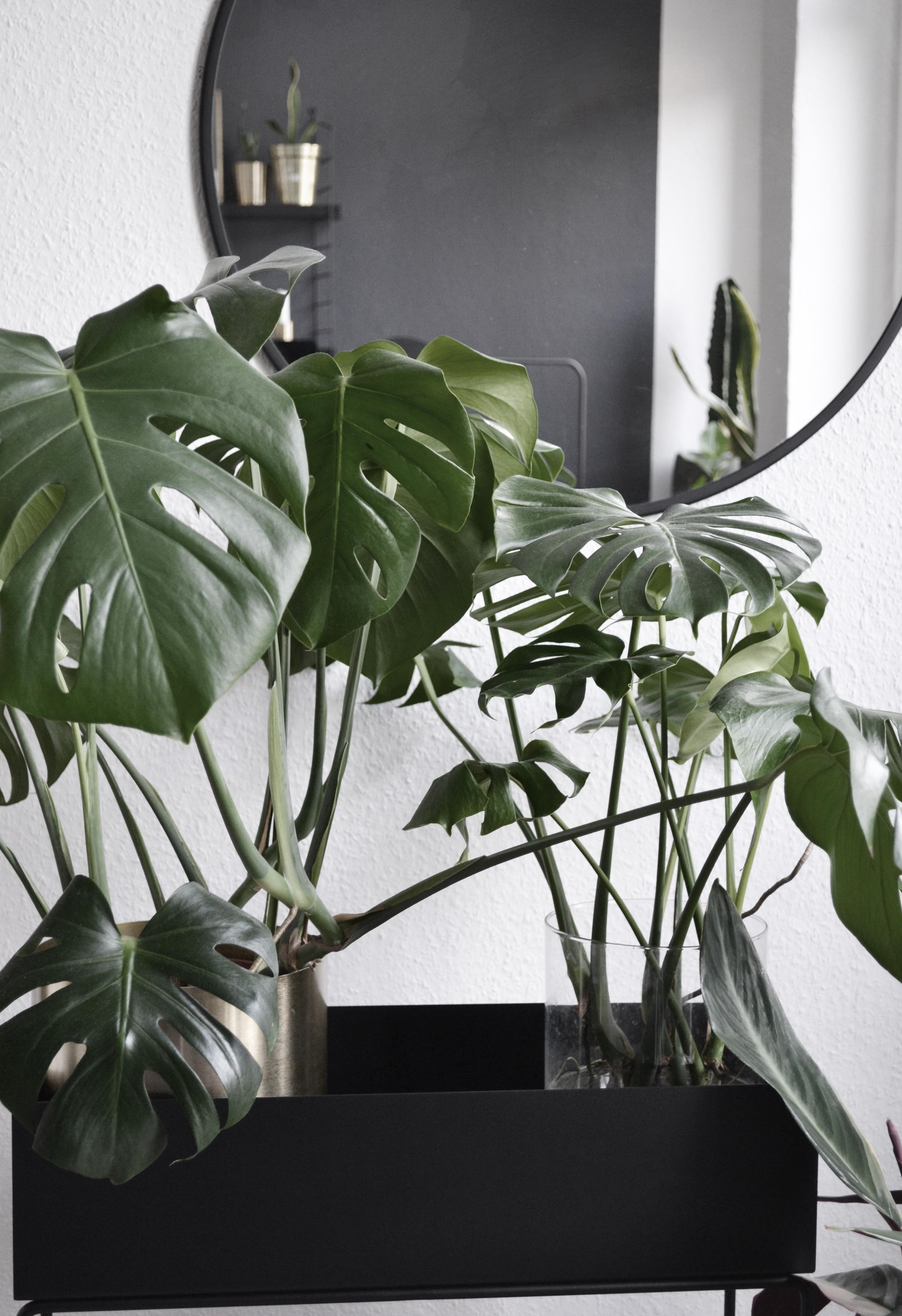 #monstera #pflanzenliebe #plantbox