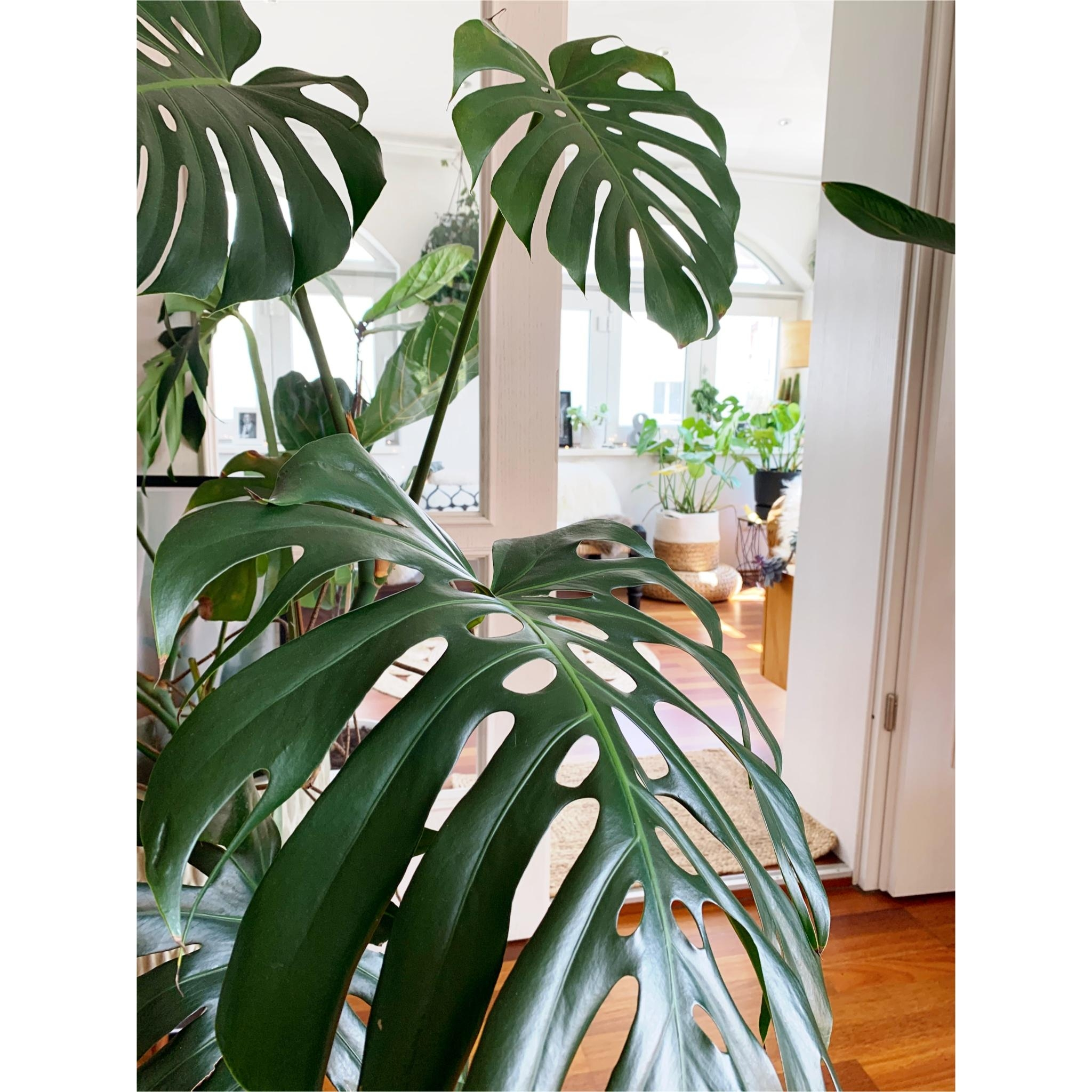 Monstera 💚#urbanjungle #pflanzen