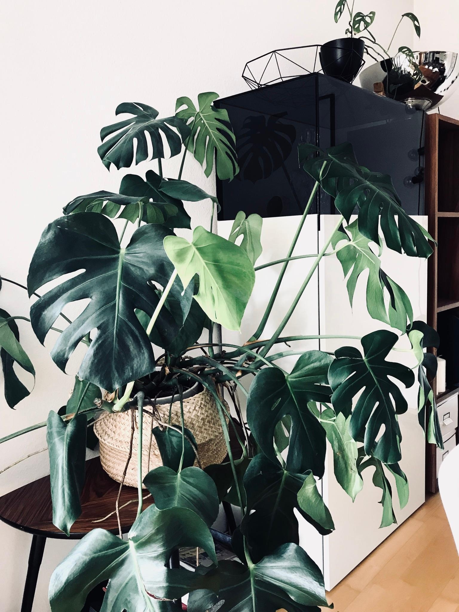 Monsteraliebe. 🖤