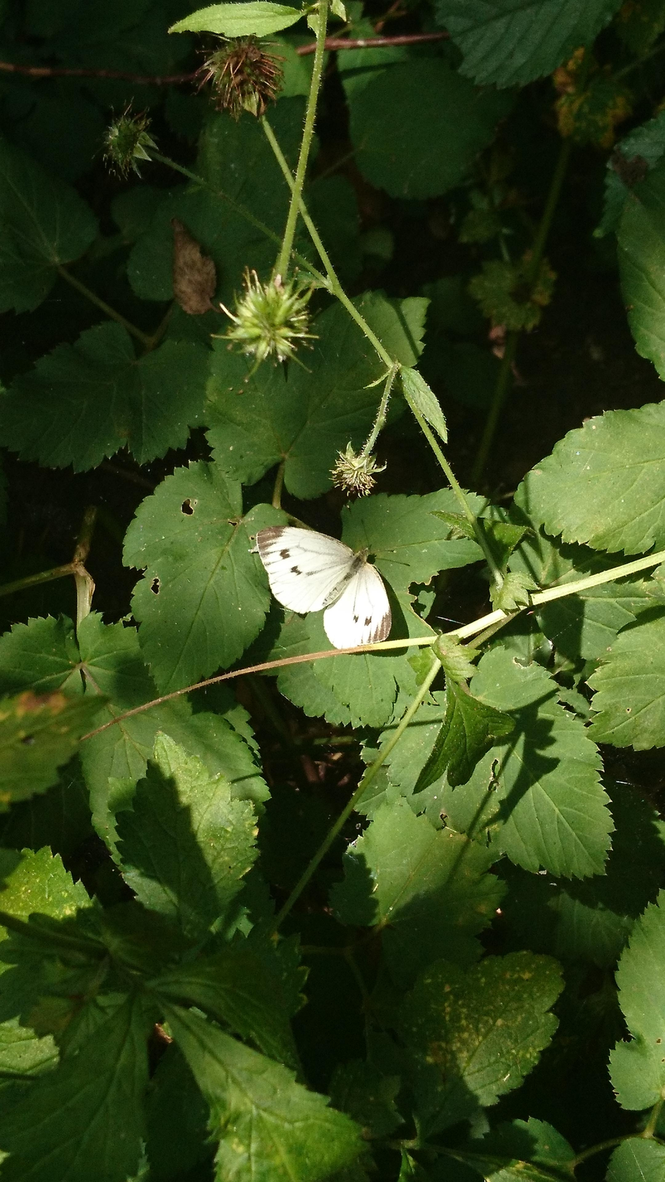Oh little white butterfly dont be so shy schmetterling apollofalter natur  e7791bbe 770d 4abc b353 fc70d7e5ef78