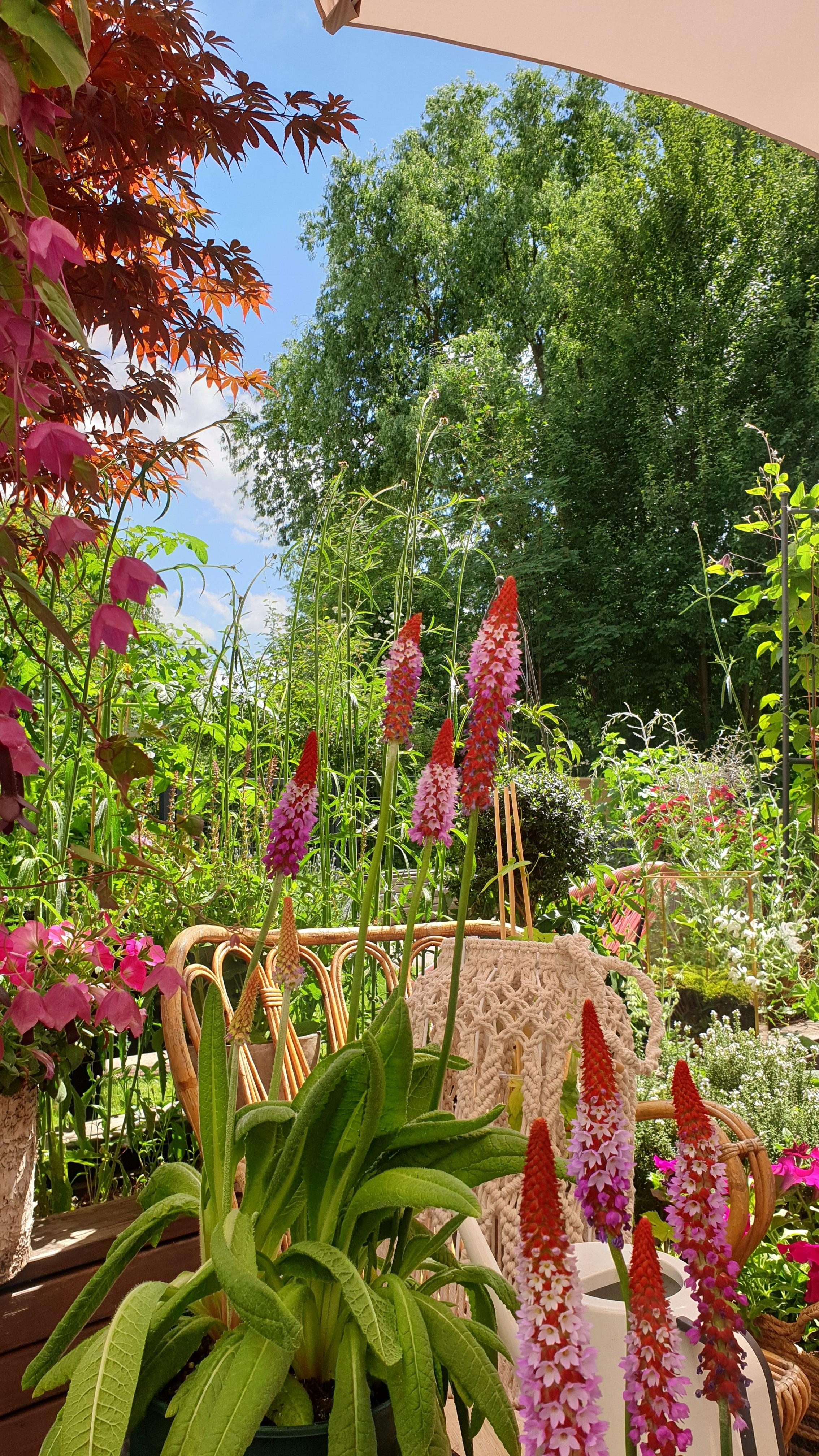 Outdoorweek sommerblumen orchideenprimel mylovelyterrace  42f1a877 1e13 42b9 be17 e56357032df2