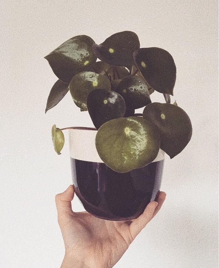 Pilea 💚 