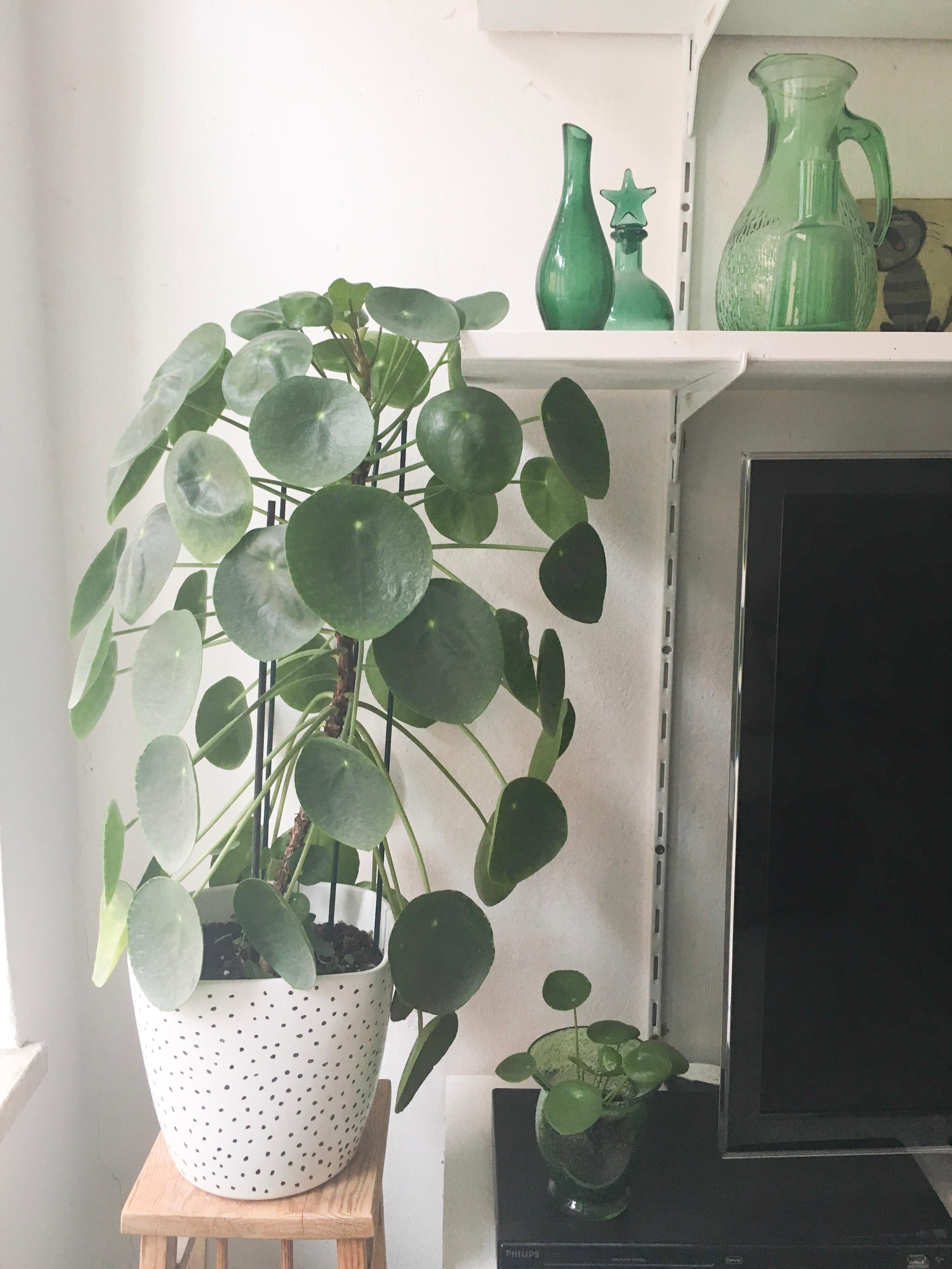 #pilea #urbanjungle #green #pflanzen