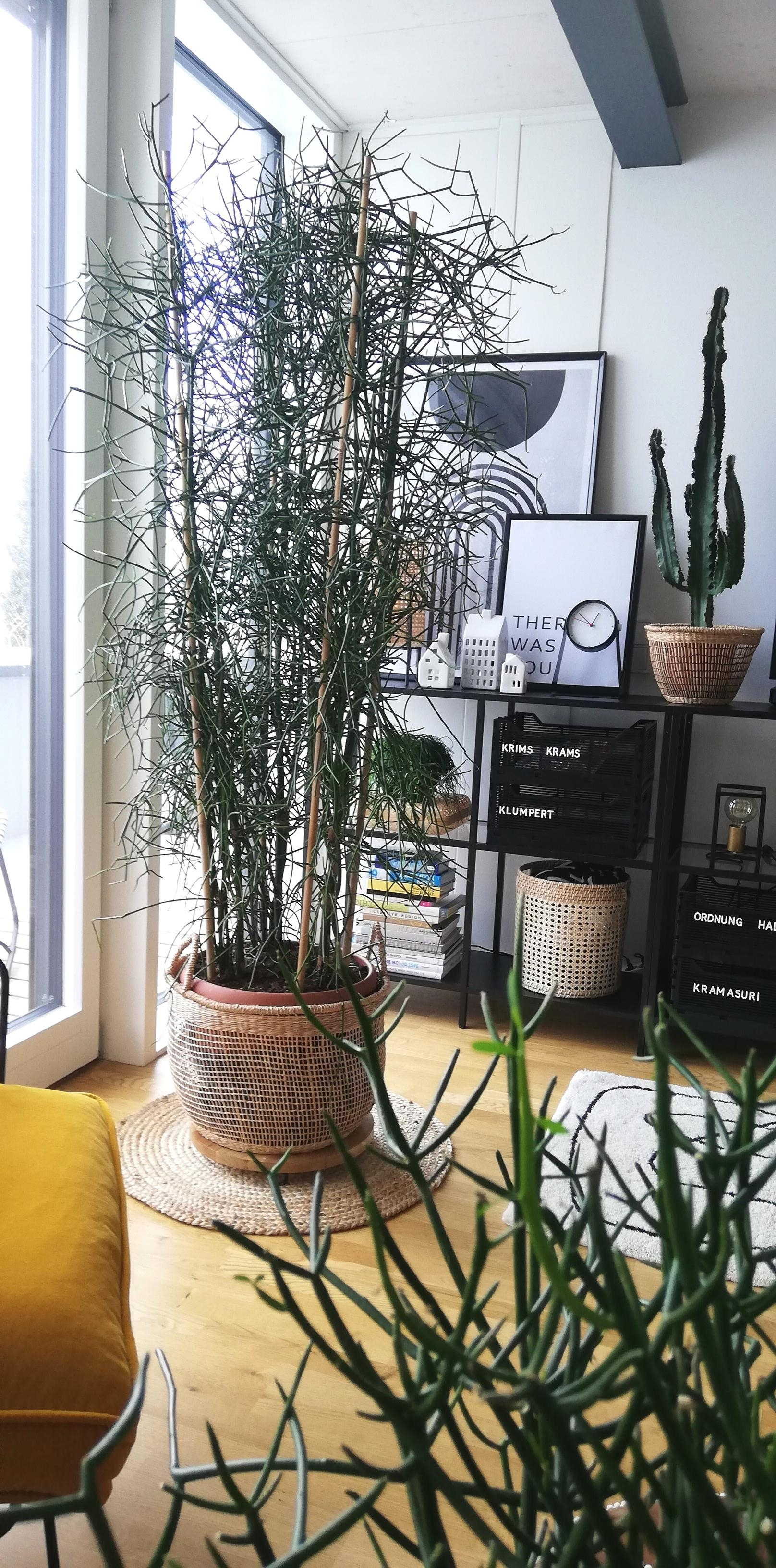 #plantslover #plants #modernliving #modernepflanzen #bleistiftbaum #nature #home #decor #decoration #zimmerpflanze #love