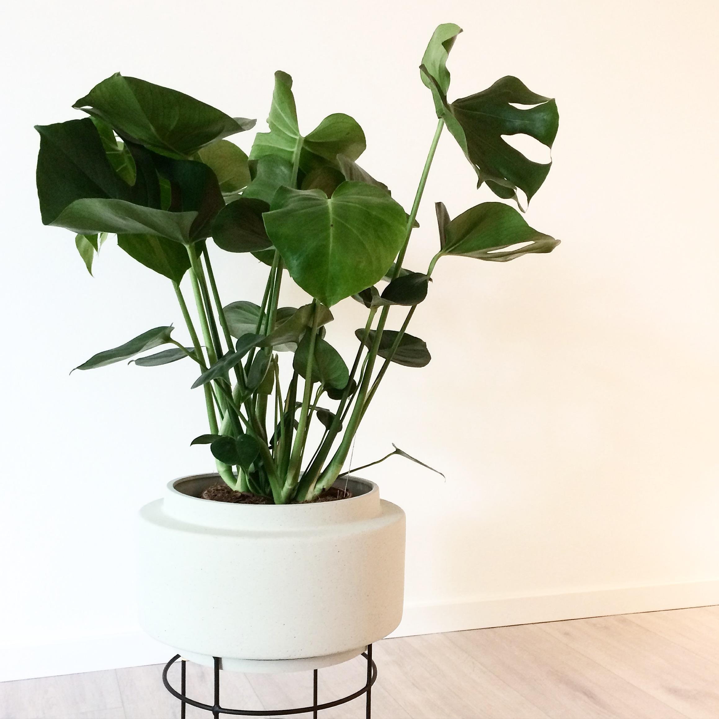 #urbanjungle #monstera #whiteliving #wohnzimmer #interior #livingroom #scandistyle