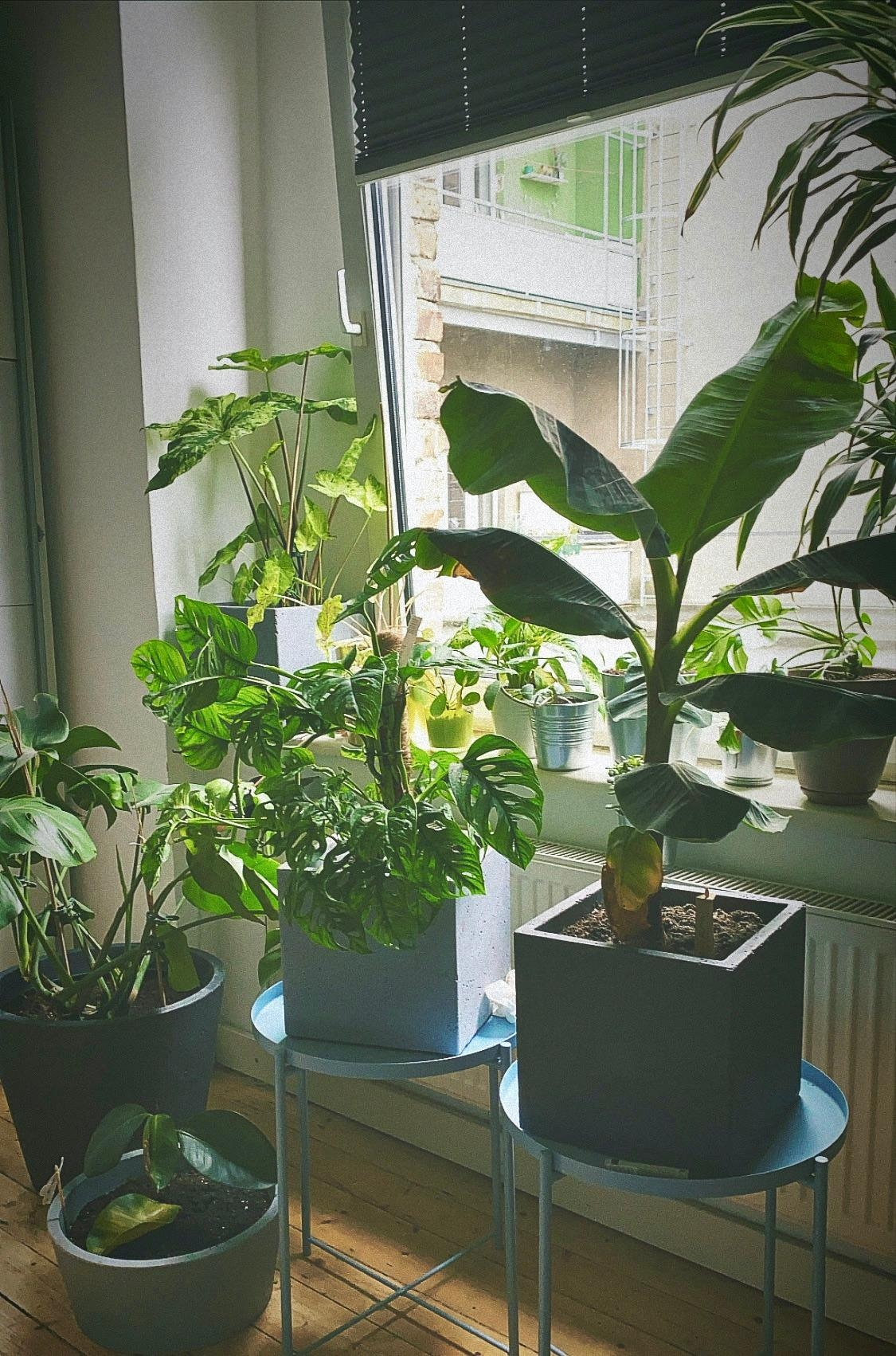#urbanjungle #myurbanjungle #urbanjungleblogger #pflanzenliebe #zimmerpflanzen