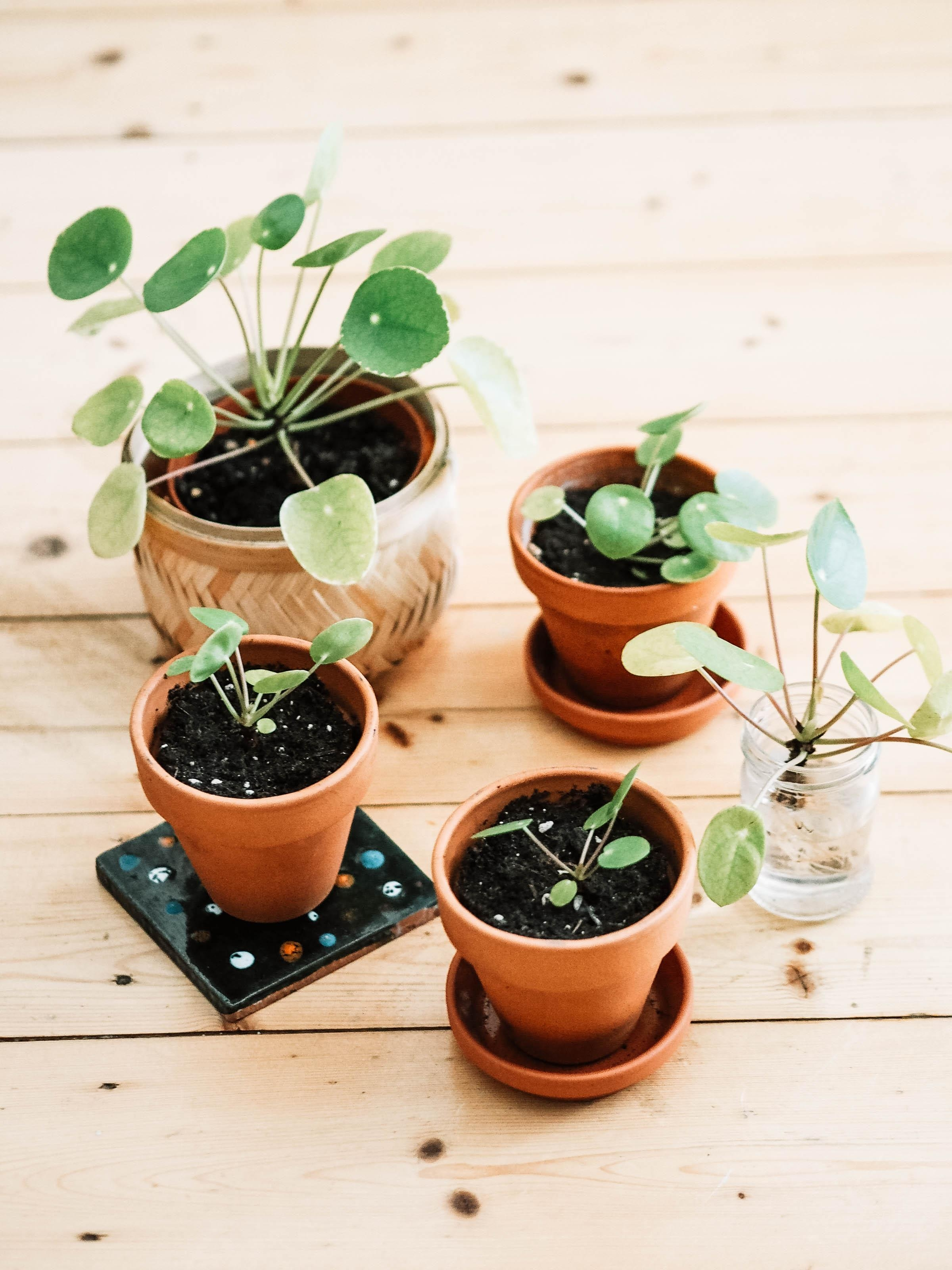 We are Family! ?Ich arbeite an der @headstreams #pilea #plantgang. ?#diekraftderpflanzenwelt